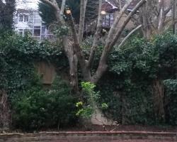Cotoneaster Pollard  in Biggin Hill - After