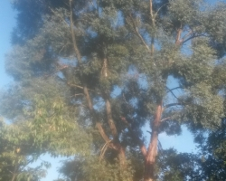 Eucalyptus Fell - South Bank Westerham - Before