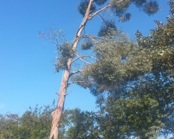 Eucalyptus Fell - South Bank Westerham - During