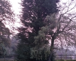 Large 80ft Conifer Fell - Tandridge - Before