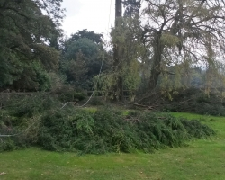 Large 80ft Conifer Fell - Tandridge - During 3