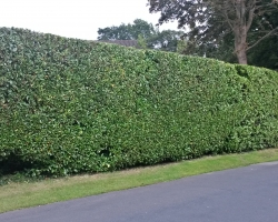 Laurel Hedge Trimmed - Uvedale Road Oxted - After 2