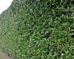 Laurel Hedge Trimmed - Uvedale Road Oxted - After
