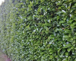 Laurel Hedge Trimmed - Uvedale Road Oxted - Before