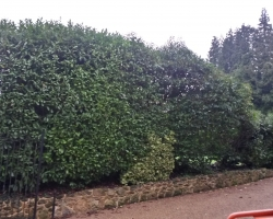 Laurel Hedge - Uvedale Road, Oxted - Before