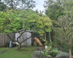 Magnolia and Hawthorn Reduction - Hamfield Close Oxted - Before 2