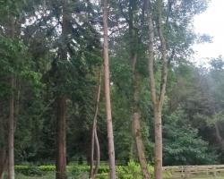 Pine Tree Fell to Ground Level - Before - Westerham