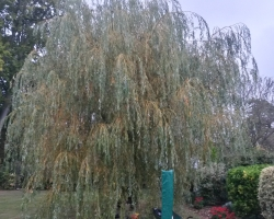 Willow Reduction - Purley - 2nd Consecutive Year - Before