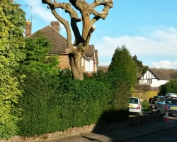 Willow Tree Pollard in Hamfield Close - Oxted - After 2