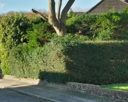 Willow Tree Pollard in Hamfield Close - Oxted - After