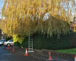 Willow Tree Pollard in Hamfield Close - Oxted - Before