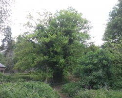Large Sycamore Reduction in Tandridge - Before