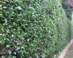 privet hedge hurst green