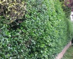 privet hedge hurst green1