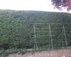 privet hedge hurst green2