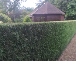 Conifer Hedge - Limpsfield - After 2