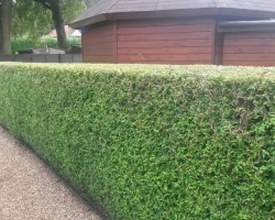 Conifer Hedge - Limpsfield - After