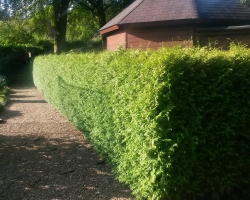 Conifer Hedge - Limpsfield - Before