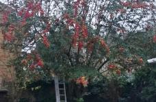Cotoneaster Pollard  in Biggin Hill - Before