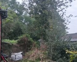 Fallen Holly Tree - Before