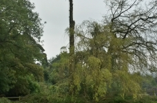 Large 80ft Conifer Fell - Tandridge - During 1