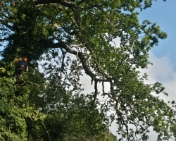 Large Oak Tree Cutback & Lift - Before - Oxted