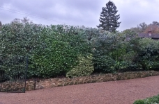 Laurel Hedge - Uvedale Road, Oxted - After 2
