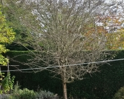 Magnolia and Hawthorn Reduction - Hamfield Close Oxted - After 2