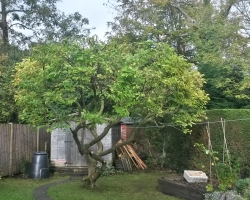 Magnolia and Hawthorn Reduction - Hamfield Close Oxted - After