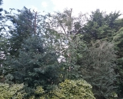 Tree Work- Oxted - After 1