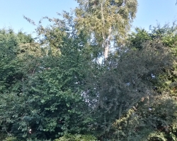 Tree Work - Oxted - Before 2