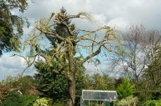 Willow Reduction - Purley - 2nd Consecutive Year - After 1