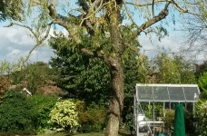 Willow Reduction - Purley - 2nd Consecutive Year - After 2