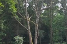 Ash Tree Reduction in Westerham