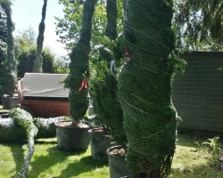 Large Conifers Planting - Before - Oxted