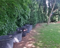 Large Conifers Planting - During 2 - Oxted