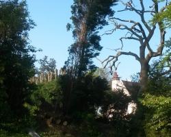 Large 100ft Cedar Fell - Before