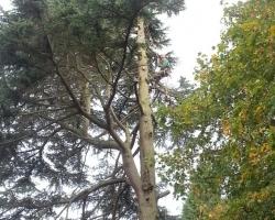 Large 100ft Cedar Fell in Woldingham Station Road